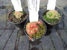 PG001 Pygmy sundew collection 3